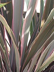 Pink Stripe New Zealand Flax (Phormium 'Pink Stripe') at Roger's Gardens