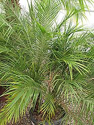 Pygmy Date Palm (shrub form) (Phoenix roebelenii (shrub form)) at Roger's Gardens