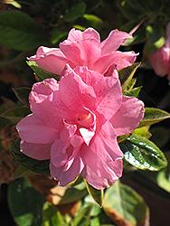 Encore Autumn Empress Azalea (Rhododendron 'Conles') at Roger's Gardens