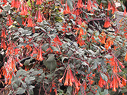 Gartenmeister Fuchsia (Fuchsia 'Gartenmeister Bonstedt') at Roger's Gardens