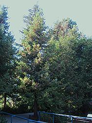 Aptos Blue Coast Redwood (Sequoia sempervirens 'Aptos Blue') at Roger's Gardens