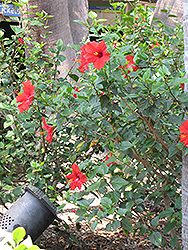 Brilliant Hibiscus (Hibiscus rosa-sinensis 'Brilliant') at Roger's Gardens