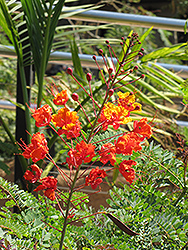 Peacock Flower (Caesalpinia pulcherrima) at Roger's Gardens