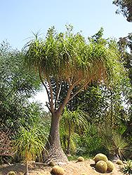Pony Tail Palm (Nolina recurvata) at Roger's Gardens