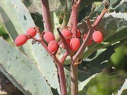 Wild Grape (Cyphostemma juttae) at Roger's Gardens