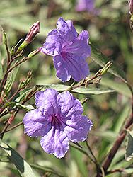 Mexican Petunia (Ruellia brittoniana) at Roger's Gardens