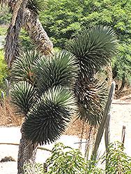 Tree Yucca (Yucca filifera) at Roger's Gardens