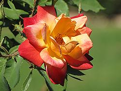 Joseph's Coat Rose (Rosa 'Joseph's Coat') at Roger's Gardens
