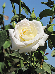 Honor Rose (Rosa 'Honor') at Roger's Gardens
