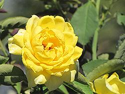 Mellow Yellow Rose (Rosa 'Mellow Yellow') at Roger's Gardens