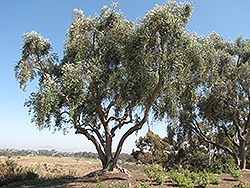 Common Olive (Olea europaea) at Roger's Gardens