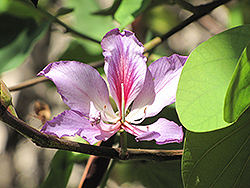 Orchid Tree (Bauhinia purpurea) at Roger's Gardens