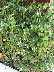 Angel Wing Jasmine (Jasminum nitidum) at Roger's Gardens