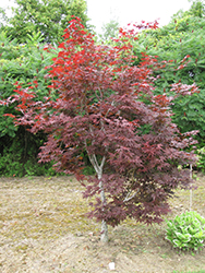 Red Emperor Japanese Maple (Acer palmatum 'Red Emperor') at Roger's Gardens
