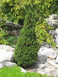 Jean's Dilly Spruce (Picea glauca 'Jean's Dilly') at Roger's Gardens