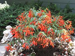 Santa Cruz Sunset Begonia (Begonia boliviensis 'Santa Cruz Sunset') at Roger's Gardens