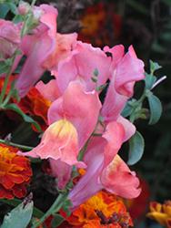Montego Pink Snapdragon (Antirrhinum majus 'Montego Pink') at Roger's Gardens