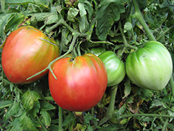 Russian Oxheart Tomato (Solanum lycopersicum 'Russian Oxheart') at Roger's Gardens