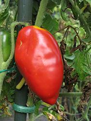 Howard German Tomato (Solanum lycopersicum 'Howard German') at Roger's Gardens
