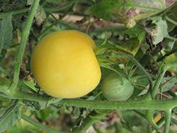 Garden Peach Tomato (Solanum lycopersicum 'Garden Peach') at Roger's Gardens