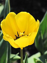 Golden Apeldoorn Tulip (Tulipa 'Golden Apeldoorn') at Roger's Gardens