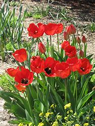 Red Apeldoorn Tulip (Tulipa 'Red Apeldoorn') at Roger's Gardens