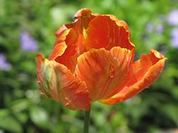 Orange Parrot Tulip (Tulipa 'Orange Parrot') at Roger's Gardens