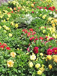 Figaro Mix Dahlia (Dahlia 'Figaro Mix') at Roger's Gardens