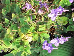 False African Violet (Streptocarpus saxorum) at Roger's Gardens