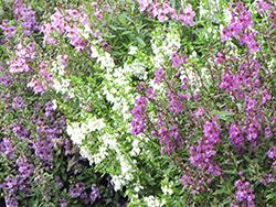 Serena Mixture Angelonia (Angelonia angustifolia 'Serena Mixture') at Roger's Gardens