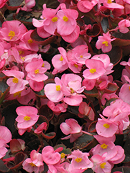Bada Boom Pink Begonia (Begonia 'Bada Boom Pink') at Roger's Gardens