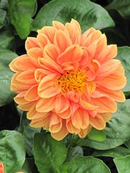 Dahlietta Jenny Dahlia (Dahlia 'Dahlietta Jenny') at Roger's Gardens