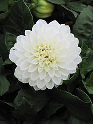 Dahlinova Hypnotica White Dahlia (Dahlia 'Hypnotica White') at Roger's Gardens