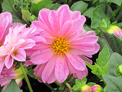Dahlietta Lisa Pink Dahlia (Dahlia 'Dahlietta Lisa Pink') at Roger's Gardens