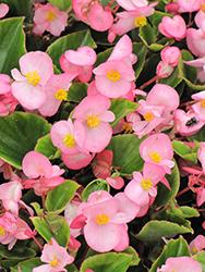 Bada Bing Pink Begonia (Begonia 'Bada Bing Pink') at Roger's Gardens