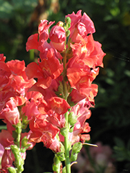 Madame Butterfly Rosy-Bronze Snapdragon (Antirrhinum majus 'Madame Butterfly Rosy-Bronze') at Roger's Gardens