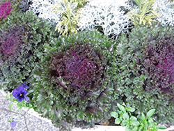 Chidori Red Kale (Brassica oleracea var. acephala 'Chidori Red') at Roger's Gardens