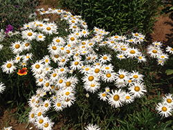 Crazy Daisy Shasta Daisy (Leucanthemum x superbum 'Crazy Daisy') at Roger's Gardens