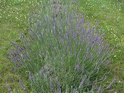 Hidcote Giant Lavender (Lavandula x intermedia 'Hidcote Giant') at Roger's Gardens