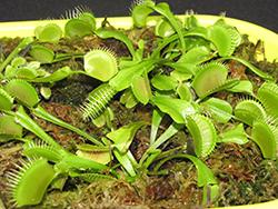 Venus Flytrap (Dionaea muscipula) at Roger's Gardens