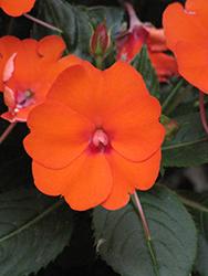SunPatiens Compact Electric Orange New Guinea Impatiens (Impatiens 'SunPatiens Compact Electric Orange') at Roger's Gardens