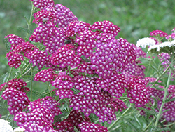 Cerise Queen Yarrow (Achillea millefolium 'Cerise Queen') at Roger's Gardens