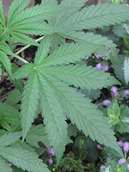 Marijuana (Cannabis sativa) at Roger's Gardens