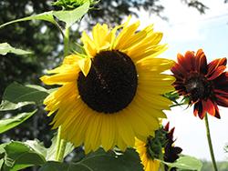 Sunrich Yellow Sunflower (Helianthus annuus 'Sunrich Lemon') at Roger's Gardens