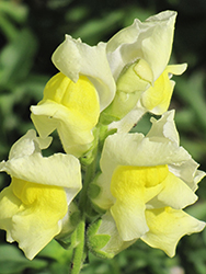 Snapshot Yellow Snapdragon (Antirrhinum majus 'PAS409666') at Roger's Gardens