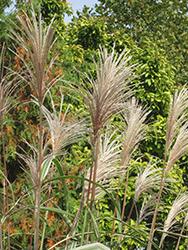 Variegated Silver Grass (Miscanthus sinensis 'Variegatus') at Roger's Gardens