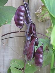 Runner Bean (Phaseolus coccineus) at Roger's Gardens