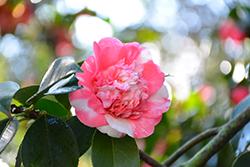 Elegans Variegated Camellia (Camellia japonica 'Elegans Variegated') at Roger's Gardens