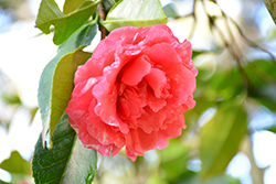 Daikagura Camellia (Camellia japonica 'Daikagura') at Roger's Gardens