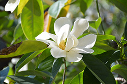 Sweet Michelia Magnolia (Magnolia doltsopa) at Roger's Gardens